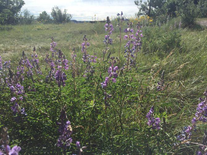 Purple Mountain Majesty - Spruce Mountain Trail - 7-25-15 - 2
