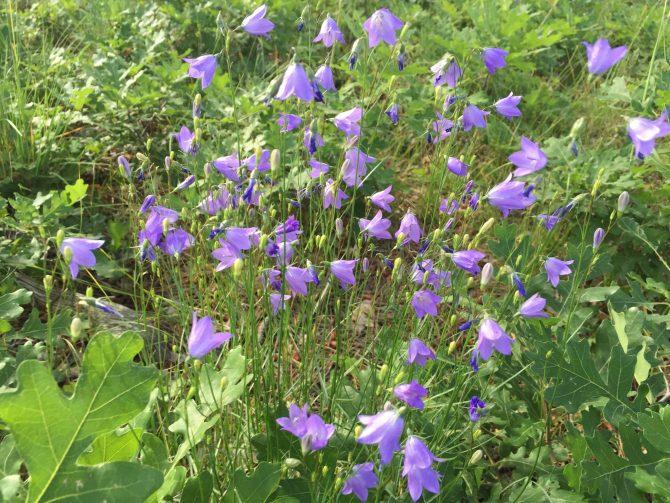 Purple Mountain Majesty - Spruce Mountain Trail - 7-25-15 - 3