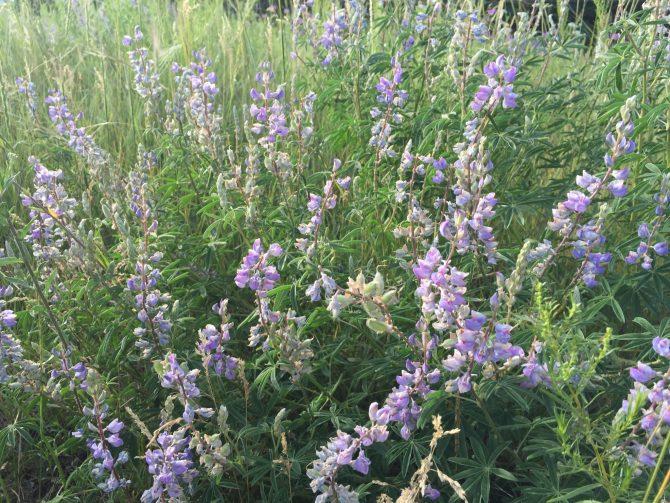 Purple Mountain Majesty - Spruce Mountain Trail - 7-25-15 - 7