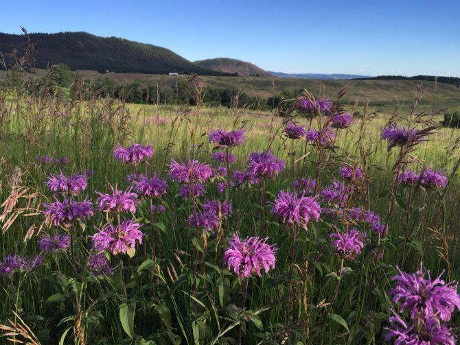Purple Mountain Majesty - Spruce Mountain Trail - 7-25-15 - 8