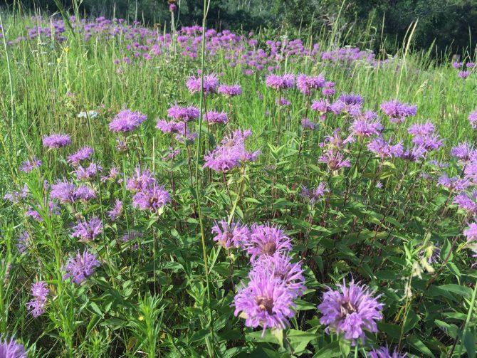 Purple Mountain Majesty - Spruce Mountain Trail - 7-25-15 - 9